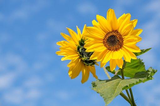 sunflower-4298808__340.jpg