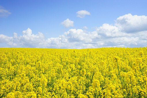 field-of-rapeseeds-474558__340.jpg